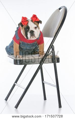 bulldog puppy wearing overalls sitting on a chair on white background
