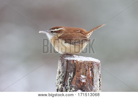 A Carolina wren perching on a branch on a snowy day in winter