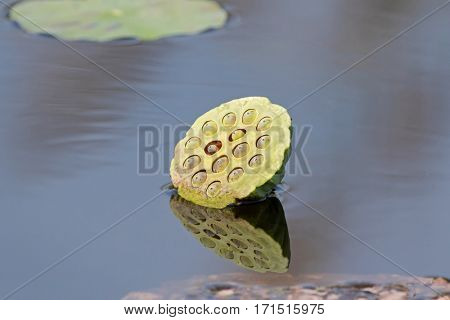 Green lotus seed pod with reflection in the pond. Summer in Thailand, Asia