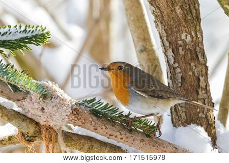 European robin redbreast bird perching near homemade bird feeder, coconut fat cookie with nut, raisin wrapping on branch, winter in Austria, Europe (Erithacus rubecula)