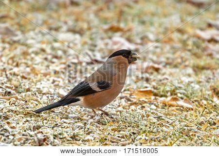 Female Eurasian Common Bullfinch bird eating sunflower seed on grass during morning winter in Austria, Europe. Female Bullfinch passerine has dull red orange black gray feather (Pyrrhula pyrrhula)