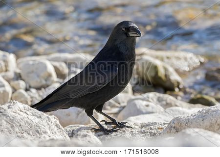 Big crow bird in glossy black plumage, heavy bill standing on rock by lake in Austria, Europe