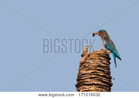Indian Roller bird in blue catch and hold Common green frog between beak, perching on coconut stubble against blue sky during summer in Thailand