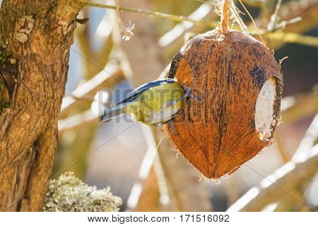 Eurasian blue tit bird in yellow blue white perching eating inside Coconut Shell suet treats made of fat, sunflower seeds hanging on branches during winter in Europe