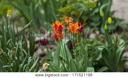A beautiful tulips in the spring garden