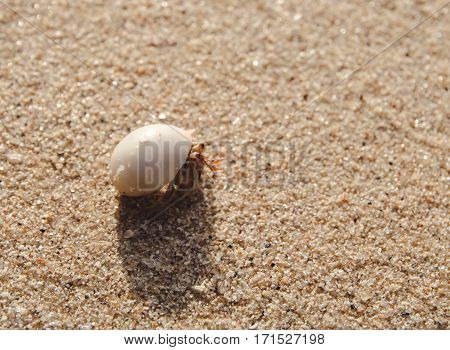 hermit crab on sand beach animal sea