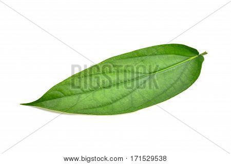 green Piper interruptum Opiz leaf isolated on white background