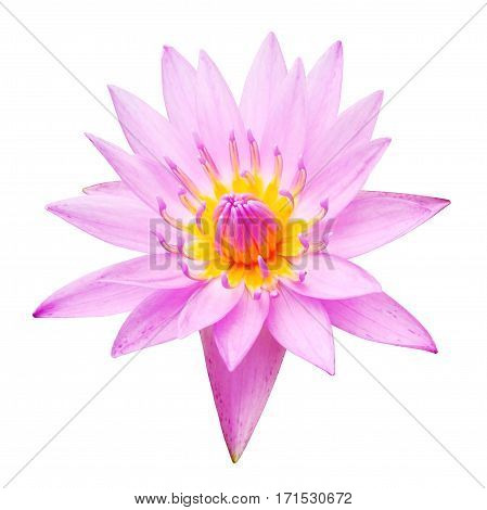 Water lily (lotus) flower isolated on white background.