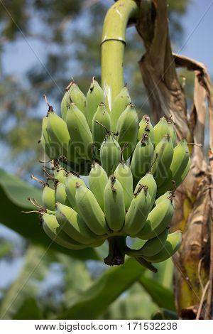 Green Banana On Tree, Pisang Awak Banana