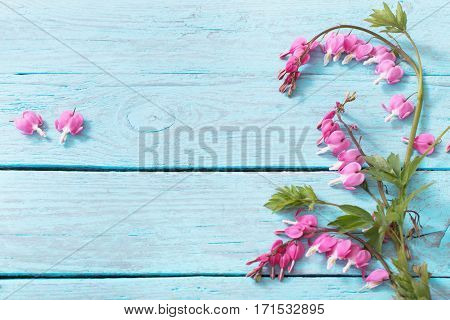 Bleeding heart flowers on blue  wooden background
