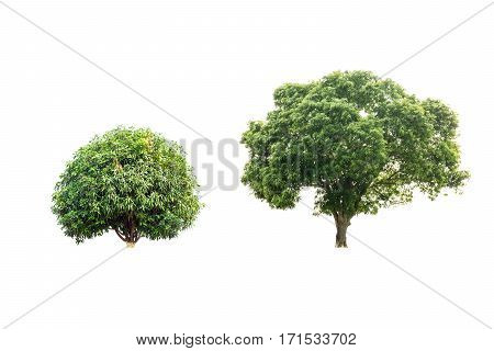 Two mango trees isolated on white background with clipping path.