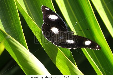 Black butterfly with white spots on palm tree frond in tropical Queensland