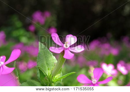 Close-up of small five petal pink flower shrub in garden in sunlight Silene Campion