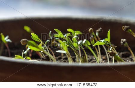 Green coriander sprouts planted in a pot