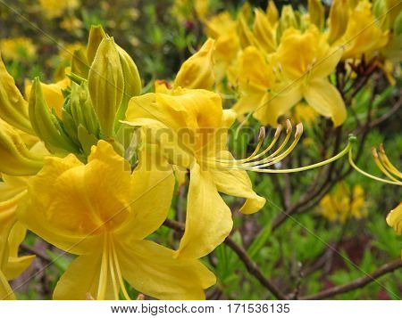 Azalea Rhododendron flower bush shrub in bloom in Spring garden park yellow