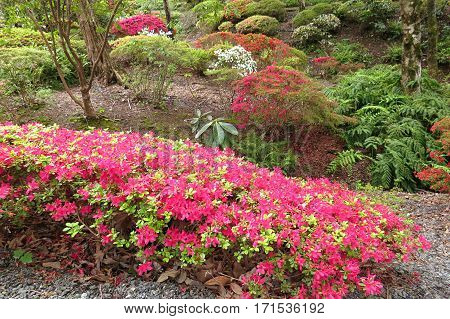 Azalea Rhododendron flower bush shrub in bloom in Spring garden park pink