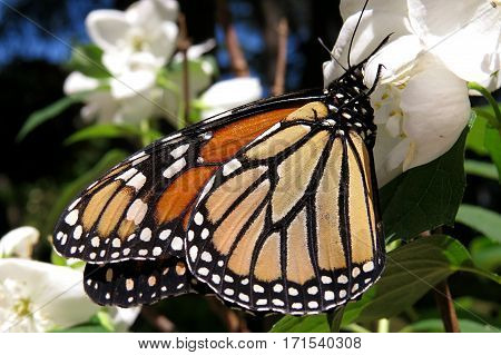 Monarch butterfly close-up orange and black orange blossom flower