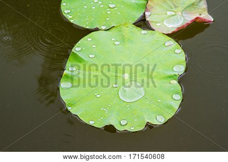A water drop on waterlily green leaf in rainy day.