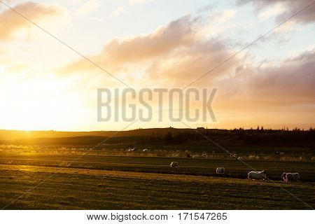 Herd of sheep grazing on plain in rural environment