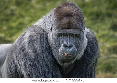 A close portrait of a silverback gorilla with food on his lips and staring forward towards the viewer