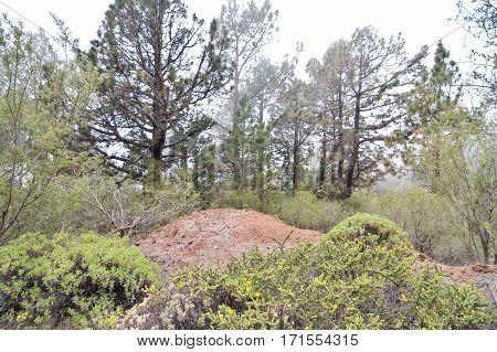Beautiful Green Pine Trees