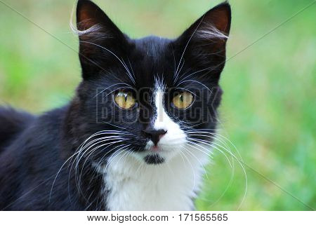 Portrait of black and white cat, black Siberian cat