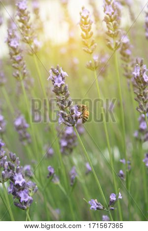 Lavender Flowers With Bees Morning When The Wind Blows.