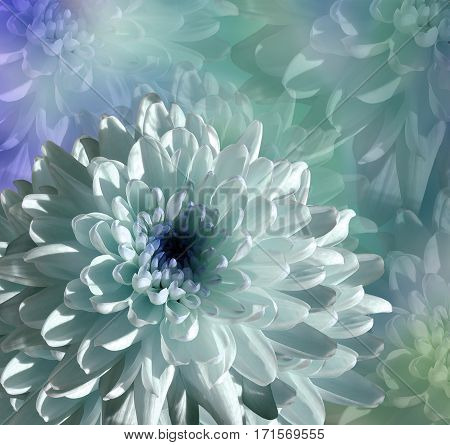flower on blue-turquoise background. white-blue flower chrysanthemum. floral collage. Flower composition. Nature.