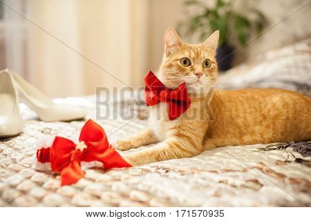 red cat in a red bow on the bed
