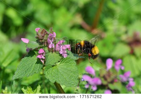 Bumble bee collects nectar on a wild flowers in the meadow