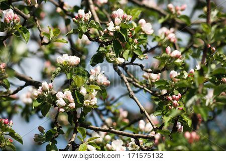 Apple tree blossom background, closeup of beautiful branch with small white flower buds. Spring nature landscape at blue sky background