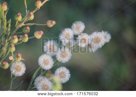 white Vernonia cinerea flower and buds to generate oxygen