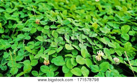 Close view of green and three-leaved shamrocks