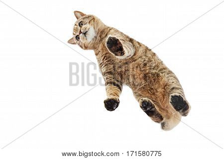 Cat Scottish Straight, from below view, isolated on a white background