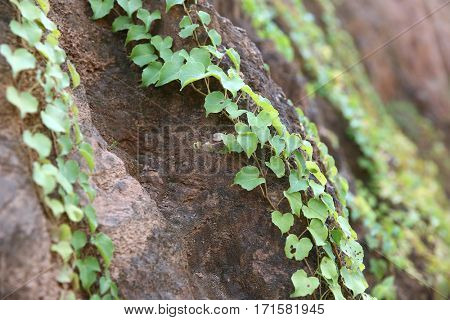 Ivy detail on wall.