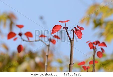 Vivid red leaves bush autumnal