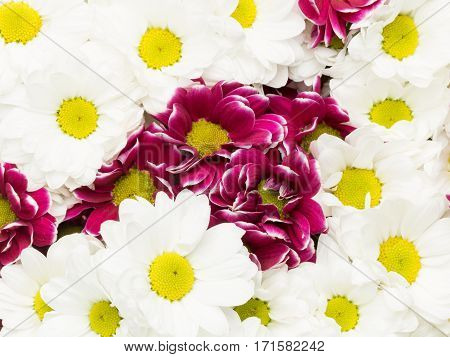beautiful background of a variety of colors of white and purple chrysanthemum with yellow center