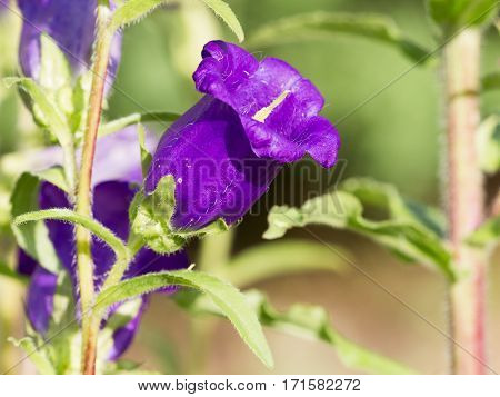 beautiful flower bells saturated with purple petals and yellow center on green background in summer garden