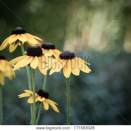 yellow flowers of Echinacea flowers in the summer