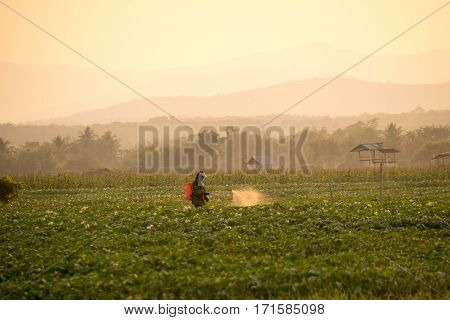 farmers are spraying pesticides in potato fields