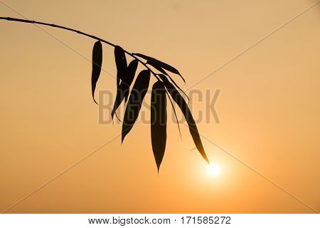 Silhouette Bamboo Leaf And Sunlight In Evening Time