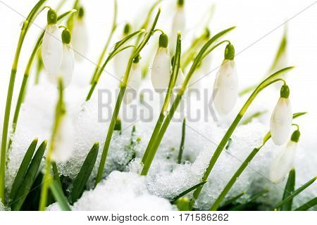 White Wild Snowdrops Covered By Snow In Early Spring