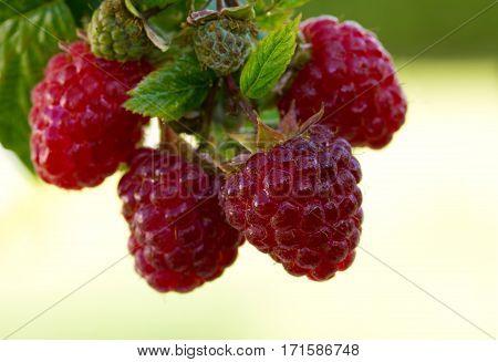 Raspberries. Growing Organic Berries closeup. Ripe raspberry in the fruit garden.