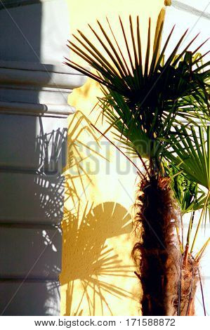 Pleated bright green palm plant and palm shadows on the wall.
