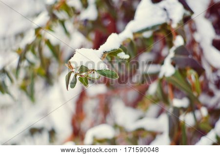Lonicera Liana With Green Leaves In Snow