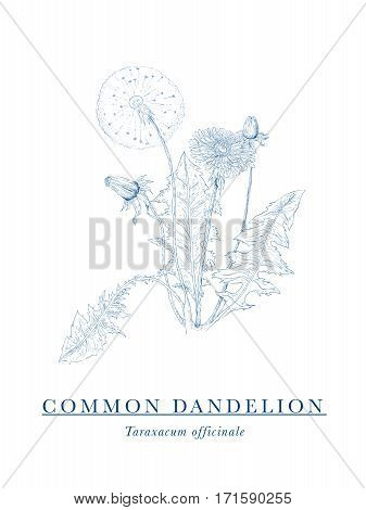 Common Dandelion - botanical illustration - field and meadow flower