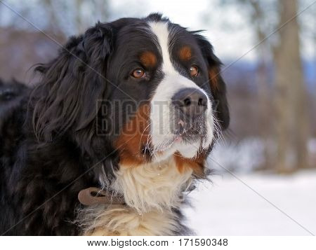 Bernese Mountain Dog watching,  Head close up
