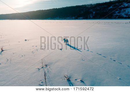 white dog in a winter field explores the terrain