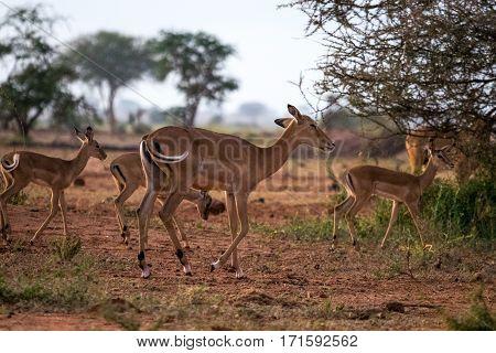 Impalas On Savanna