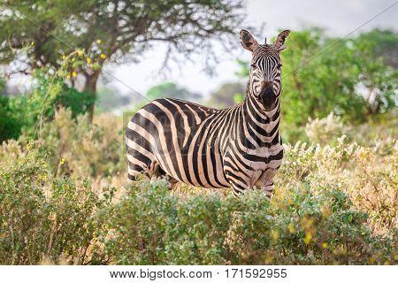 Zebra On Savanna, Kenya, East Africa
